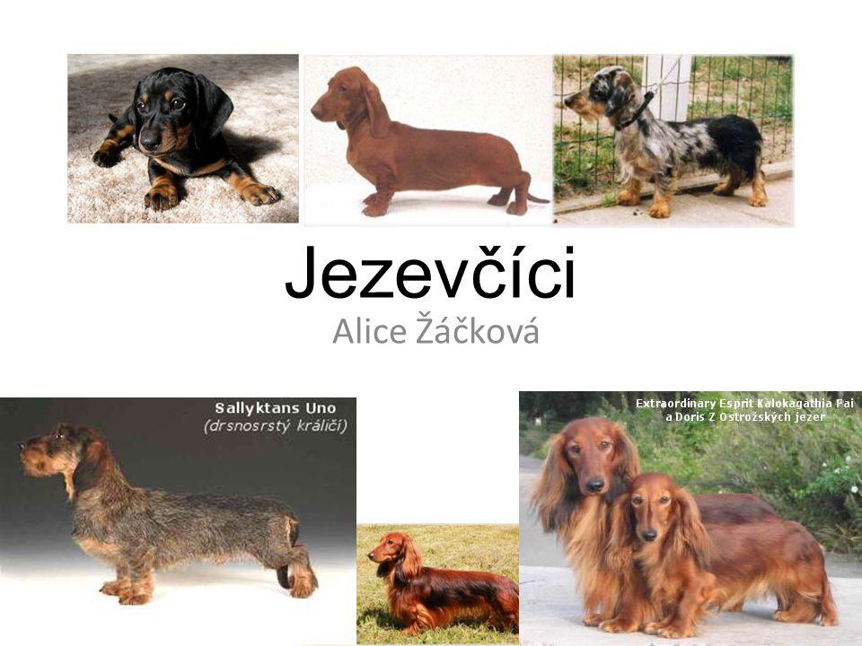 Historie Jezevčík je jedno z nejstarších německých loveckých plemen, které se používá při lovu.