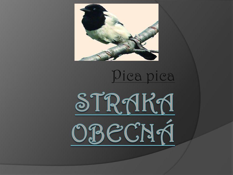  je krkavcovitý pták velikosti hrdli č ky, s výrazným č ernobílým zbarvením a dlouhým stup ň ovitým ocasem.