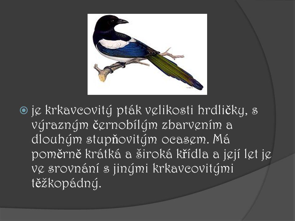  je krkavcovitý pták velikosti hrdli č ky, s výrazným č ernobílým zbarvením a dlouhým stup ň ovitým ocasem. Má pom ě rn ě krátká a široká k ř ídla a