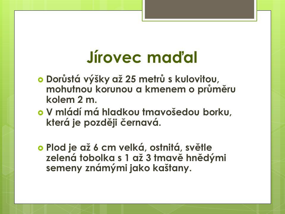 Jírovec maďal