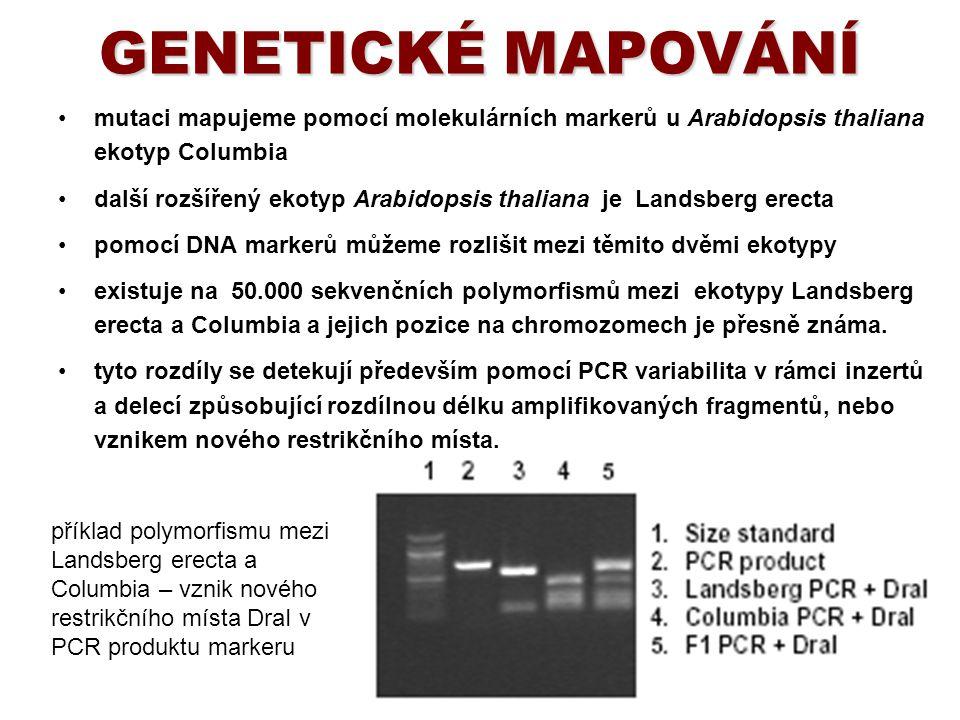 GENETICKÉ MAPOVÁNÍ mutaci mapujeme pomocí molekulárních markerů u Arabidopsis thaliana ekotyp Columbia další rozšířený ekotyp Arabidopsis thaliana je