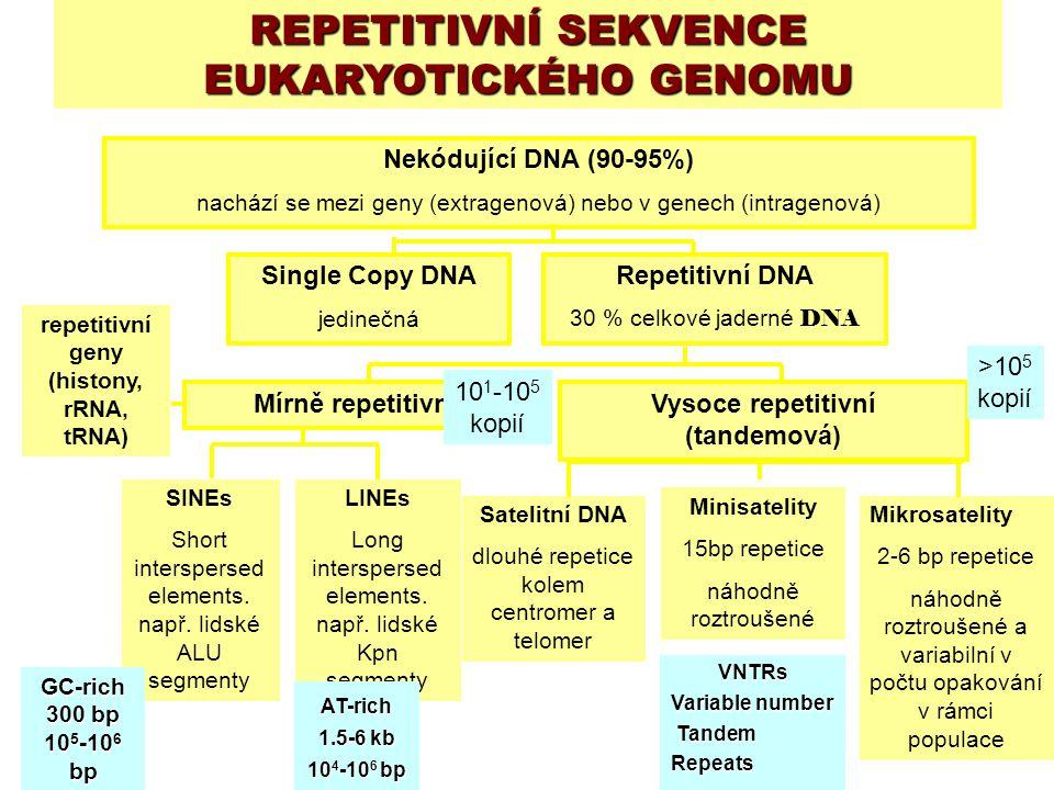 Nekódující DNA (90-95%) nachází se mezi geny (extragenová) nebo v genech (intragenová) Single Copy DNA jedinečná Repetitivní DNA 30 % celkové jaderné