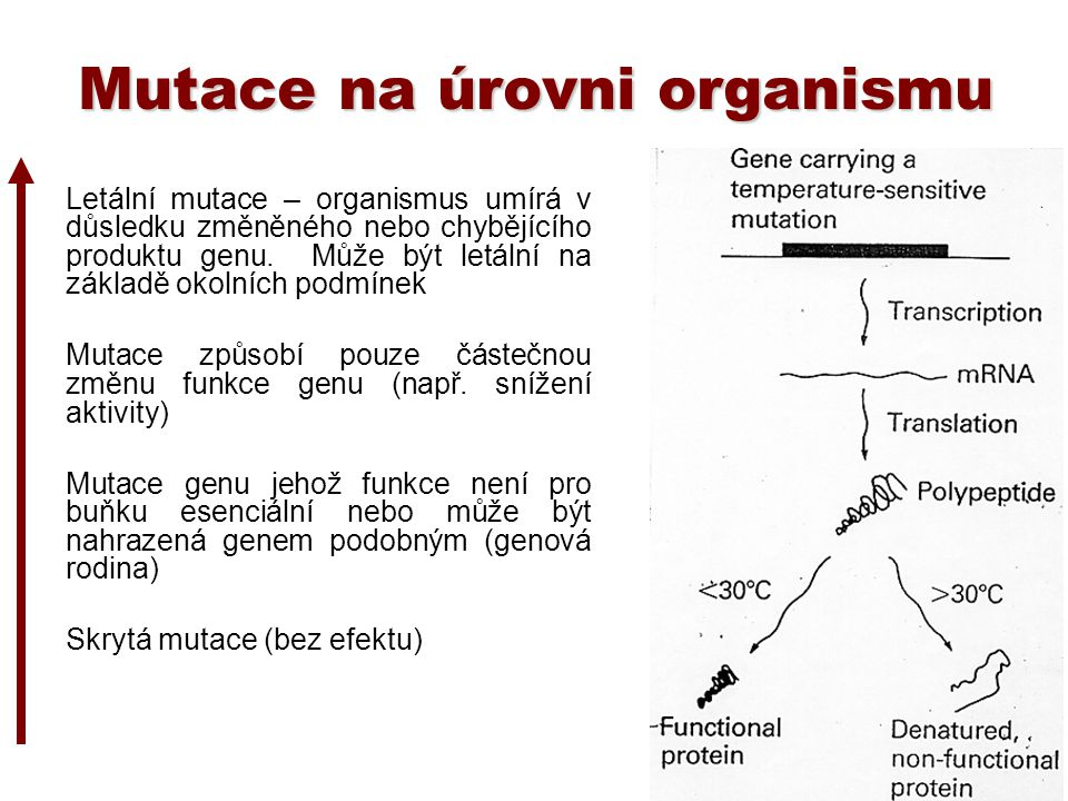 Mutace na úrovni organismu Letální mutace – organismus umírá v důsledku změněného nebo chybějícího produktu genu. Může být letální na základě okolních