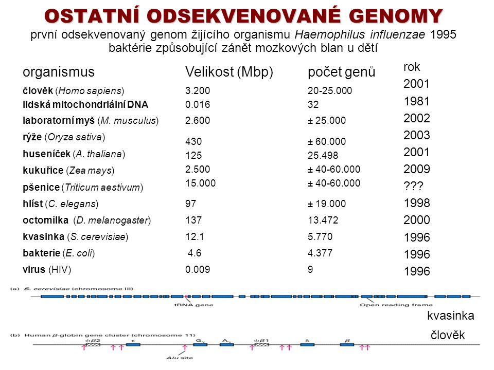 OSTATNÍ ODSEKVENOVANÉ GENOMY OSTATNÍ ODSEKVENOVANÉ GENOMY první odsekvenovaný genom žijícího organismu Haemophilus influenzae 1995 baktérie způsobujíc
