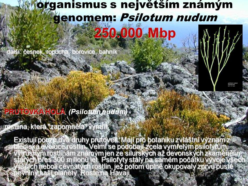 250.000 Mbp organismus s největším známým genomem: Psilotum nudum 250.000 Mbp PRUTOVKA HOLÁ PRUTOVKA HOLÁ (Psilotum nudum) rostlina, která