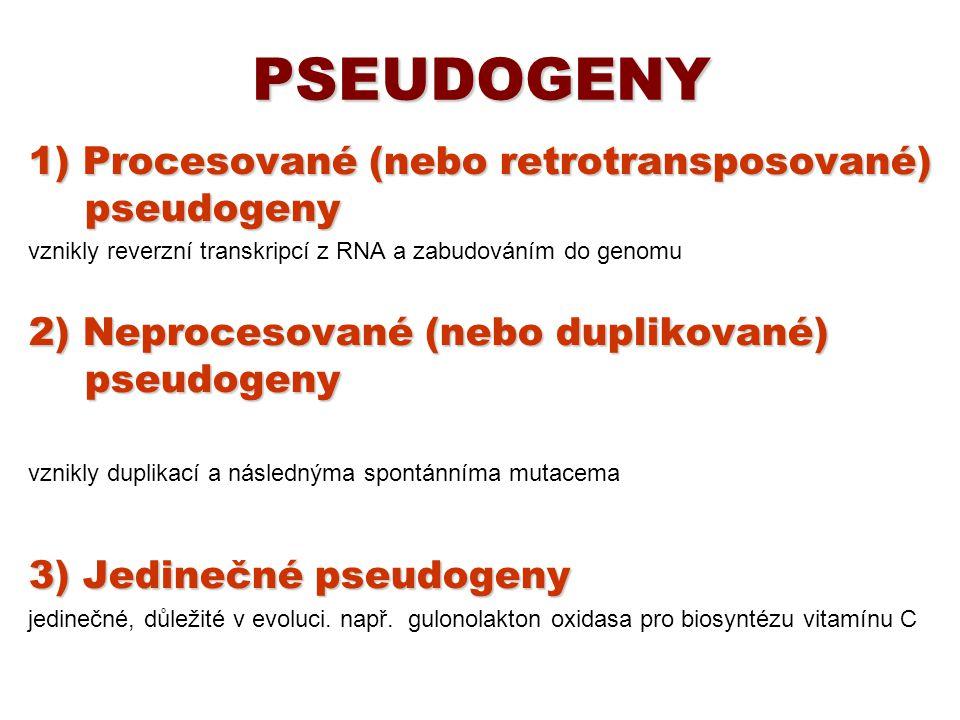 PSEUDOGENY 1) Procesované (nebo retrotransposované) pseudogeny vznikly reverzní transkripcí z RNA a zabudováním do genomu 2) Neprocesované (nebo dupli