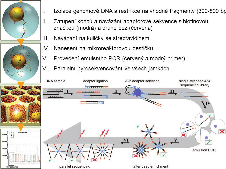 I.Izolace genomové DNA a restrikce na vhodné fragmenty (300-800 bp) II.Zatupení konců a navázání adaptorové sekvence s biotinovou značkou (modrá) a dr
