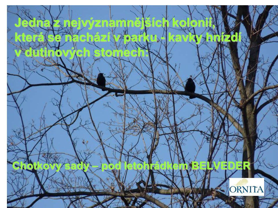 Chotkovy sady – pod letohrádkem BELVEDER Jedna z nejvýznamnějších kolonií, která se nachází v parku - kavky hnízdí v dutinových stomech: