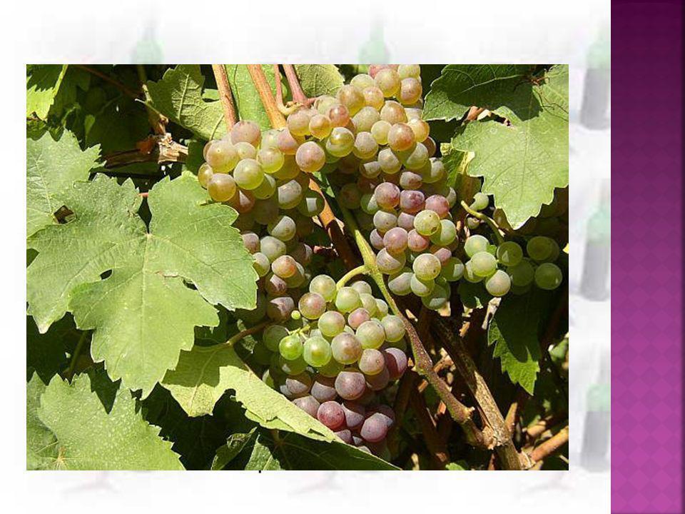  Surovina: čerstvé vinné hrozny (konec srpna- konec listopadu)  1) odzrnění- oddělení třapiny od dužiny - rmut= oddělené bobule  bílé víno- rmut se v krátké době lisuje (3-6 hod)  červené víno- rmut lisuje až poté, co prokvasí spolu se slupkami (barviva)  růžové víno- rmut z modrých hroznů se nechá několik hodin naležet kvůli částečnému uvolnění barviva ze slupek → vylisování