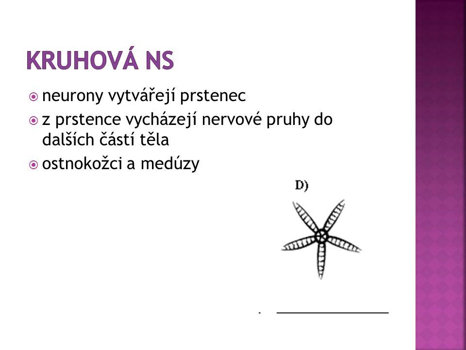  neurony vytvářejí prstenec  z prstence vycházejí nervové pruhy do dalších částí těla  ostnokožci a medúzy