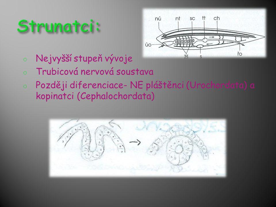o Nejvyšší stupeň vývoje o Trubicová nervová soustava o Později diferenciace- NE pláštěnci (Urochordata) a kopinatci (Cephalochordata)