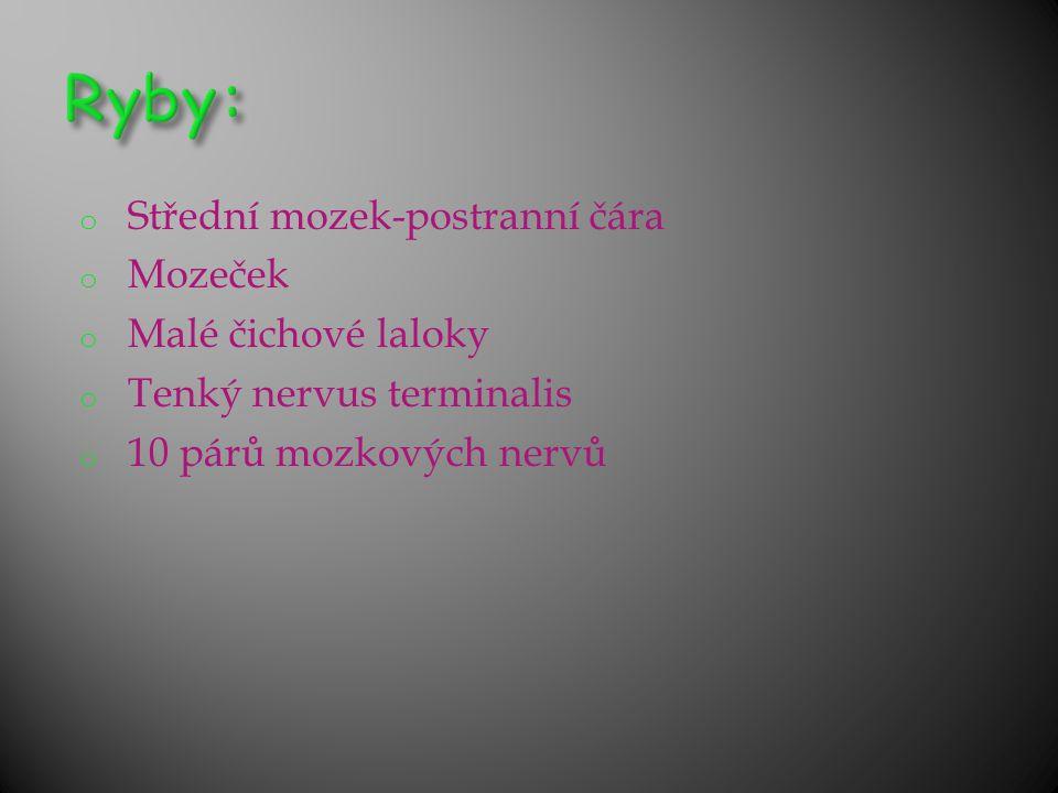 o Střední mozek-postranní čára o Mozeček o Malé čichové laloky o Tenký nervus terminalis o 10 párů mozkových nervů