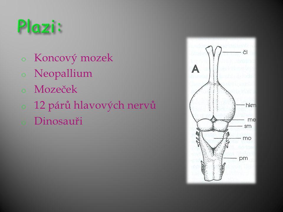 o Koncový mozek o Neopallium o Mozeček o 12 párů hlavových nervů o Dinosauři