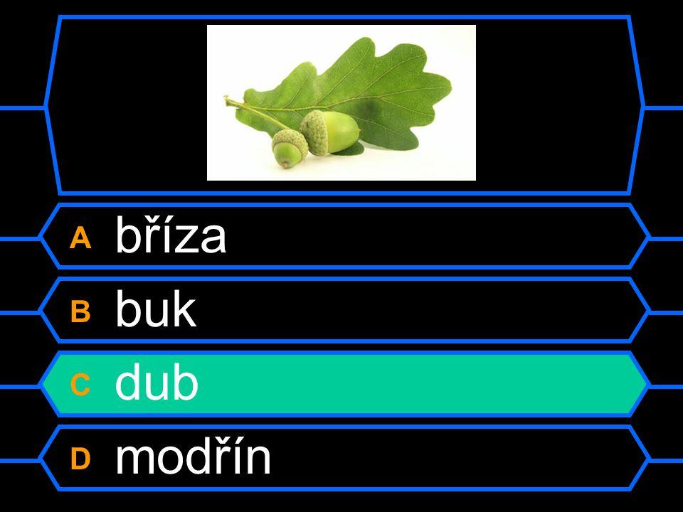 A bříza B buk C dub D modřín