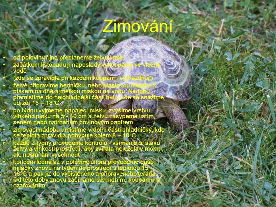 Zimování od poloviny října přestaneme želvu krmit. začátkem listopadu ji naposledy vykoupeme ve vlažné vodě (zde se zpravidla při každém koupání i vyp