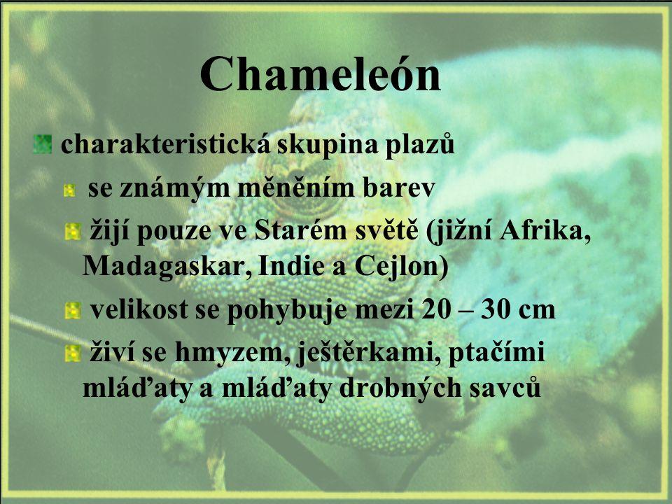 Chameleón charakteristická skupina plazů se známým měněním barev žijí pouze ve Starém světě (jižní Afrika, Madagaskar, Indie a Cejlon) velikost se pohybuje mezi 20 – 30 cm živí se hmyzem, ještěrkami, ptačími mláďaty a mláďaty drobných savců