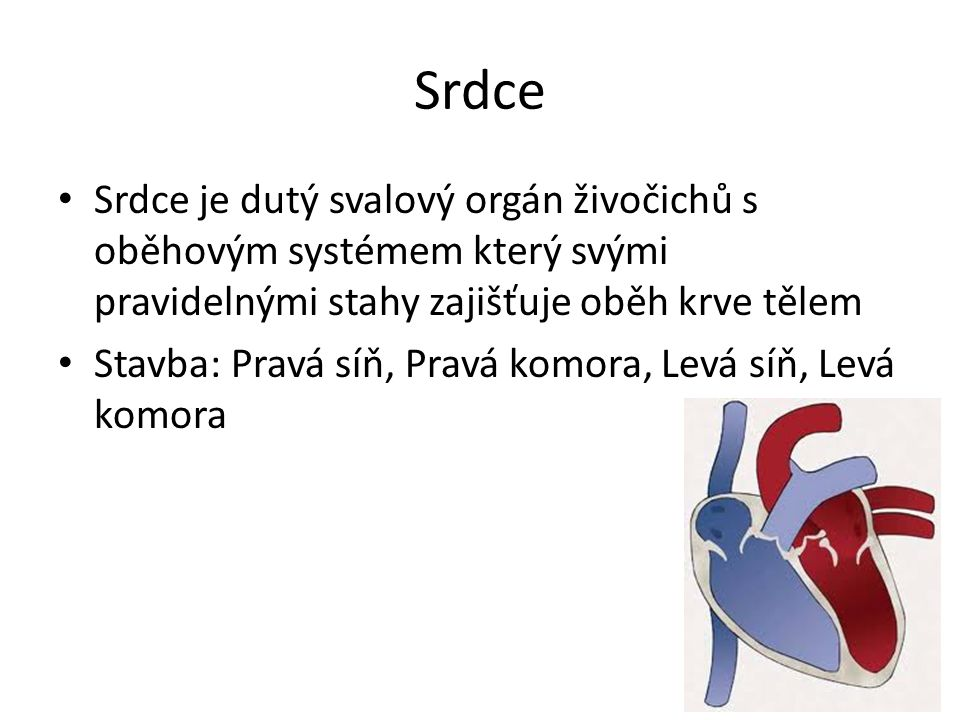 Srdce Srdce je dutý svalový orgán živočichů s oběhovým systémem který svými pravidelnými stahy zajišťuje oběh krve tělem Stavba: Pravá síň, Pravá komo