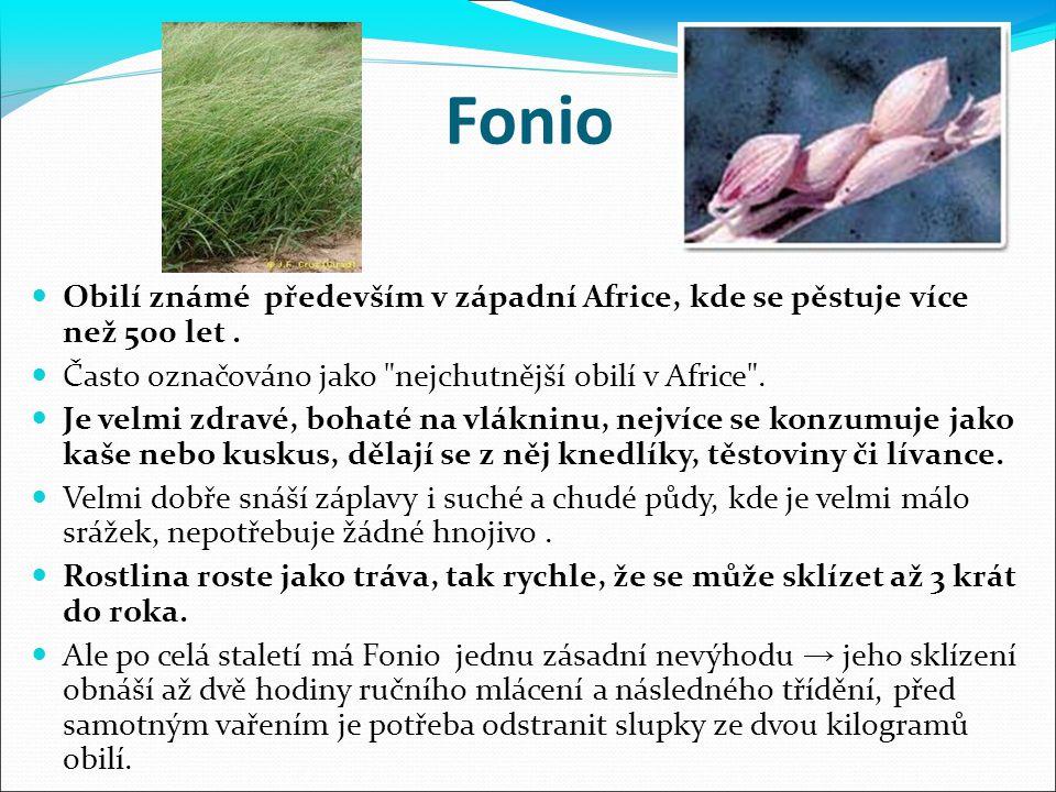 Fonio Obilí známé především v západní Africe, kde se pěstuje více než 500 let. Často označováno jako