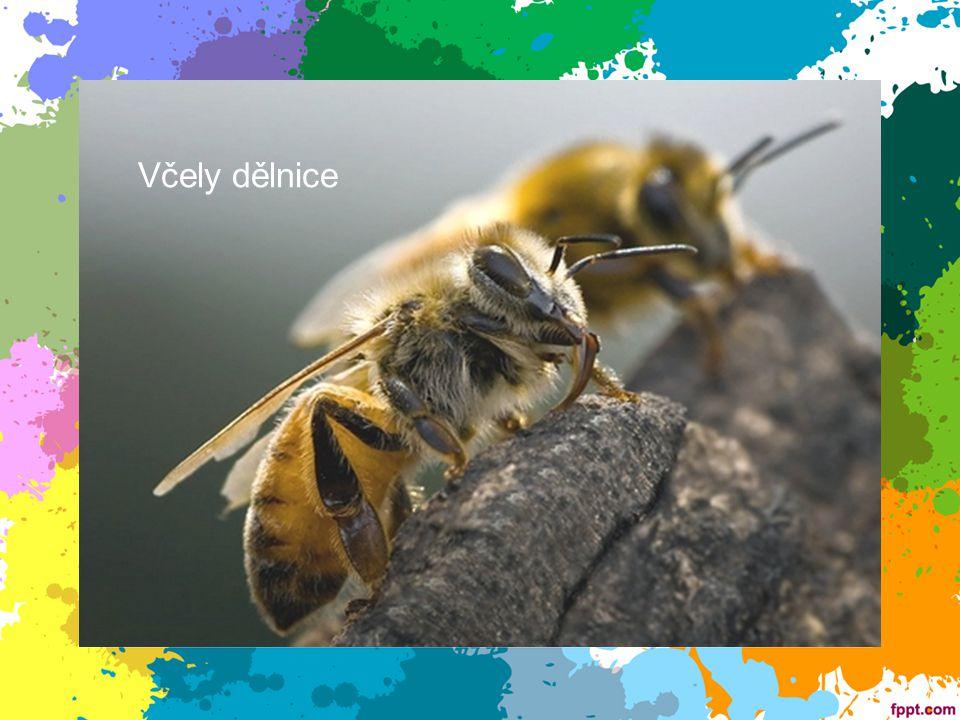 Včely dělnice