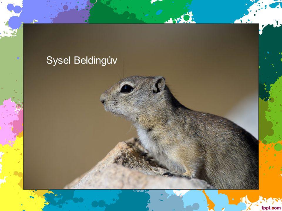 Sysel Beldingův