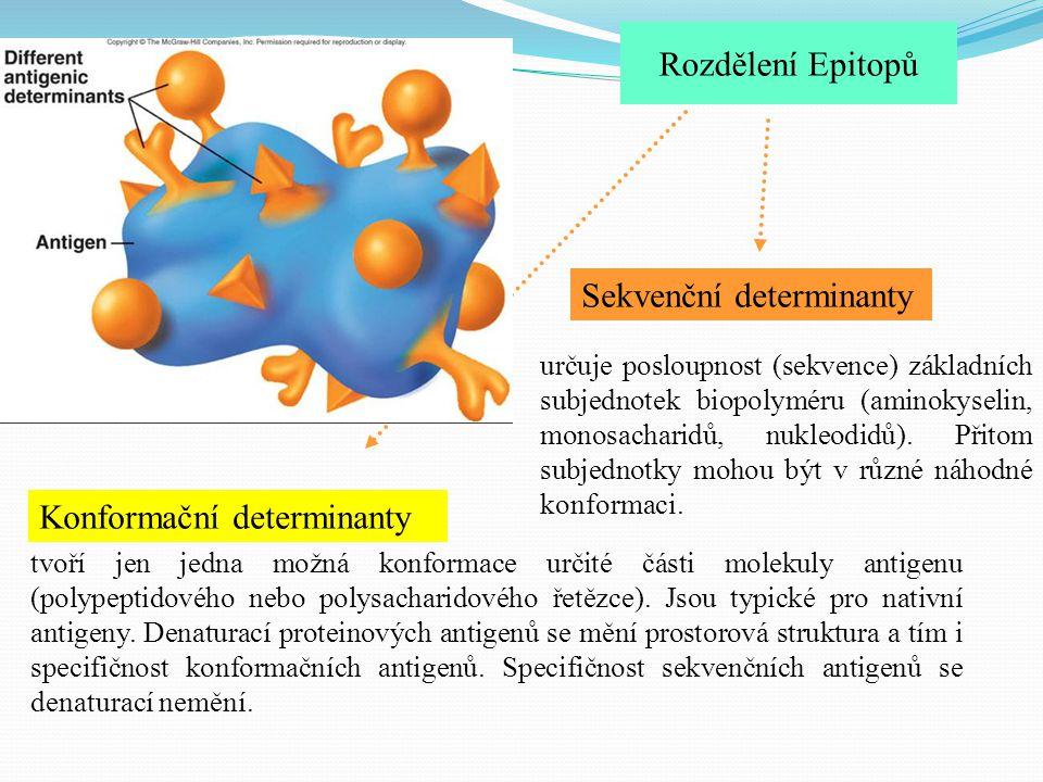 Rozdělení Epitopů Sekvenční determinanty Konformační determinanty určuje posloupnost (sekvence) základních subjednotek biopolyméru (aminokyselin, mono