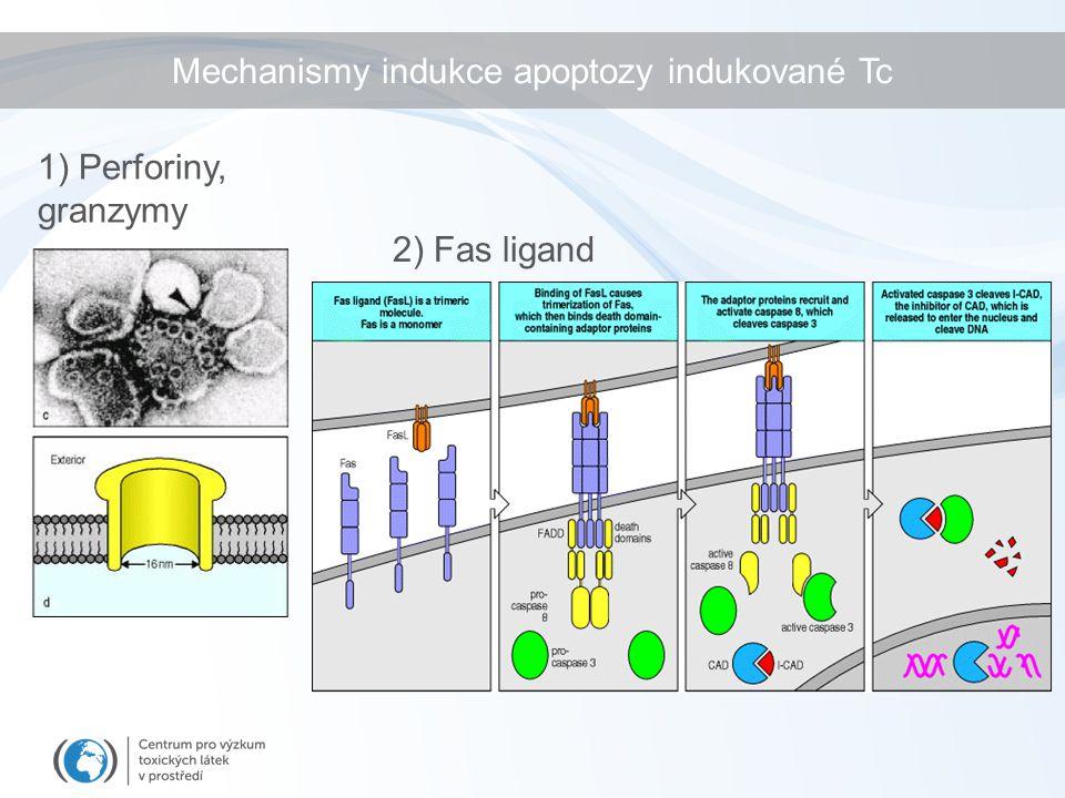 2) Fas ligand 1) Perforiny, granzymy Mechanismy indukce apoptozy indukované Tc