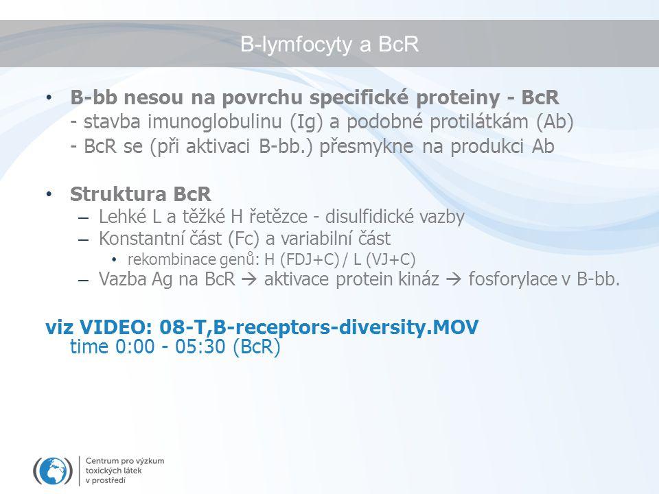 B-lymfocyty a BcR B-bb nesou na povrchu specifické proteiny - BcR - stavba imunoglobulinu (Ig) a podobné protilátkám (Ab) - BcR se (při aktivaci B-bb.