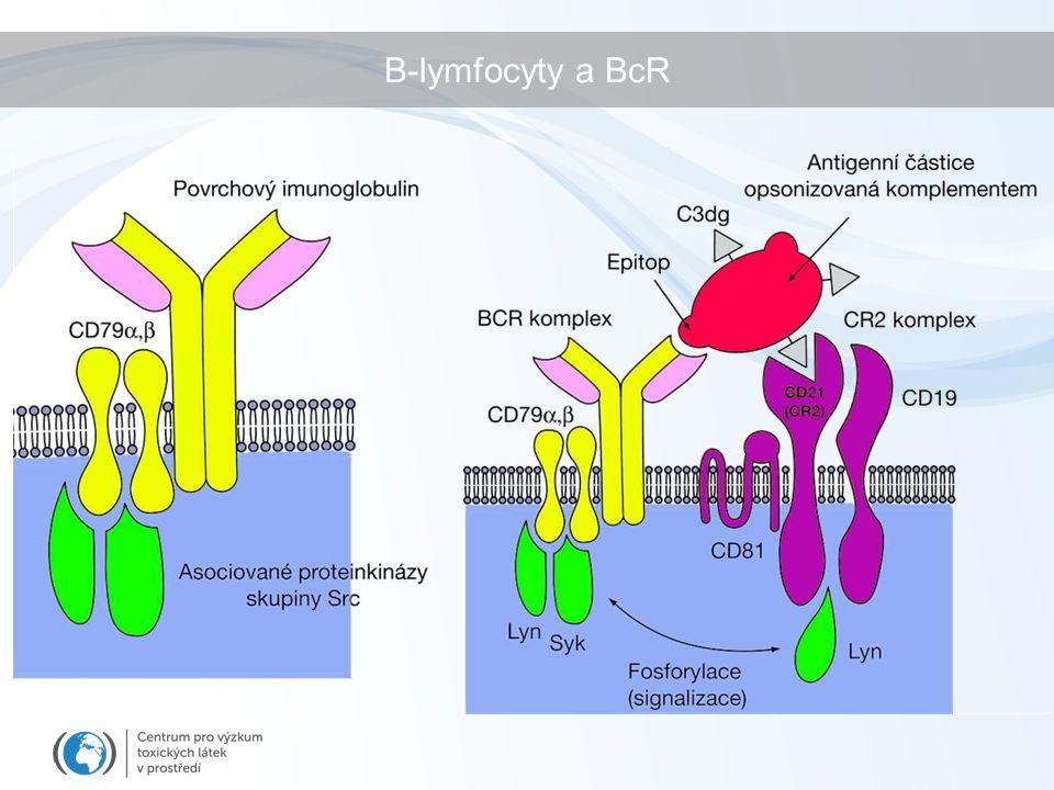 Protilátky a jejich třídy BcR = membránový IgM Gen pro BcR - VDJ (variabilní) + C – konstantní - část (M-D-G-E-A) Po prvním setkání s Ag (a po aktivaci T-buňkou)  diferenciace & přesmyk tříd Ig (závisí na prostředí) IgM – produkce při prvním setkání, pentamer – rozeznává T-nezávislé antigeny (konz.