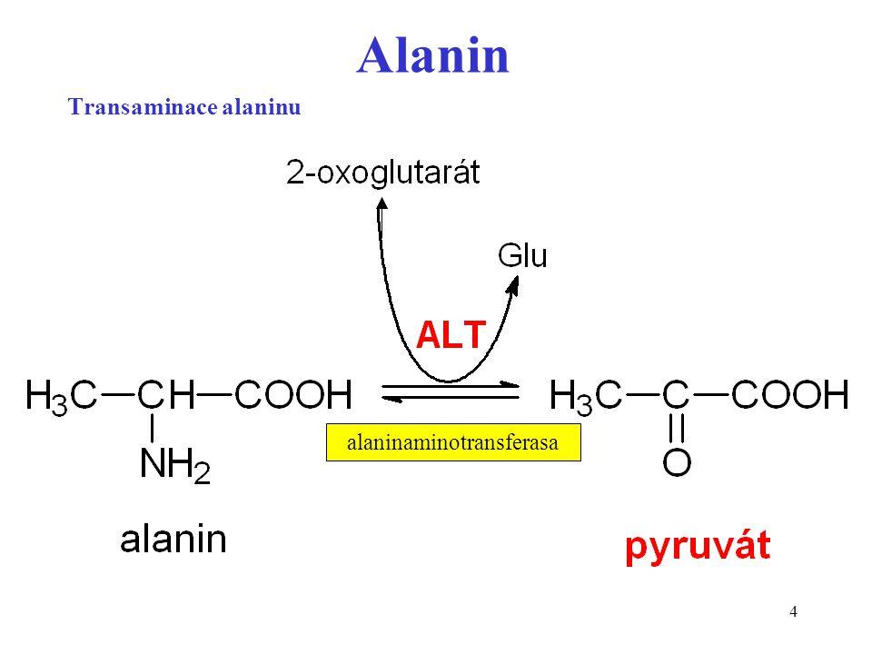 5 Glukoso-alaninový cyklus alanin lze považovat za transportní formu dusíku uvolňovanou ze svalu do cirkulace v játrech je alanin substrátem glukoneogeneze Probíhá během hladovění