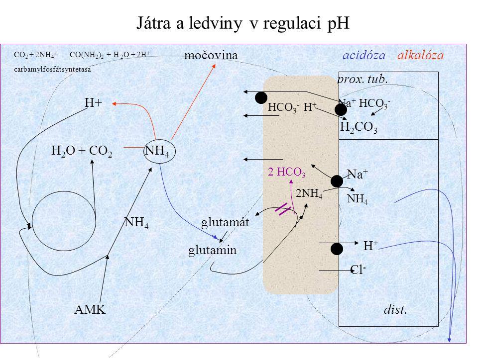 Játra a ledviny v regulaci pH močovina acidóza alkalóza prox. tub. H+ Na + HCO 3 - H 2 CO 3 H 2 O + CO 2 NH 4 Na + NH 4 NH 4 glutamát H + Cl - AMK dis