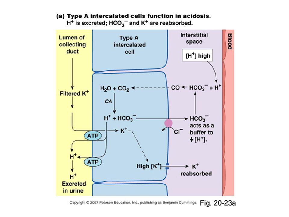 Spřažení transportu H +, Na + a K + GRADIENTY H + koncentrační K + elektrický H + Na + ZPĚTNÉ VAZBY Na + pozitivní Na + e – Na + i negativní K + ATP ADP H+H+ Na + Acidóza