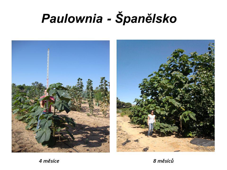Paulownia - Španělsko 4 měsíce8 měsíců