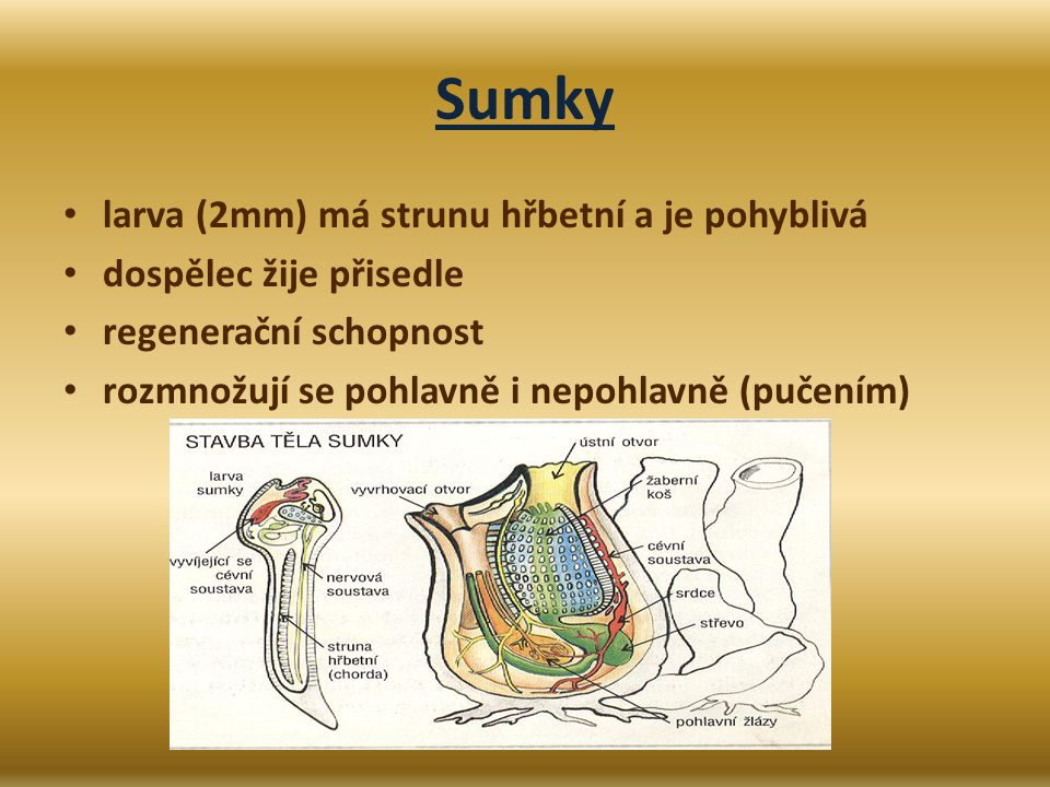 Sumky larva (2mm) má strunu hřbetní a je pohyblivá dospělec žije přisedle regenerační schopnost rozmnožují se pohlavně i nepohlavně (pučením)