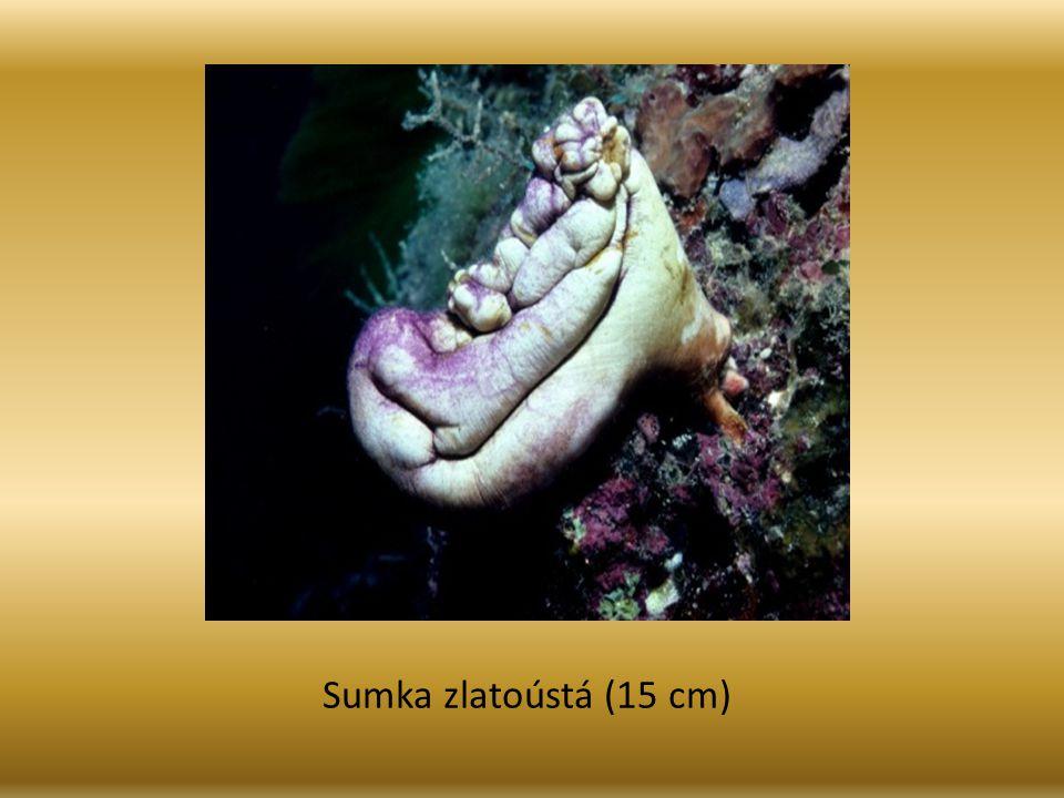 Sumka zlatoústá (15 cm)