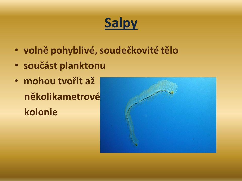 Salpy volně pohyblivé, soudečkovité tělo součást planktonu mohou tvořit až několikametrové kolonie