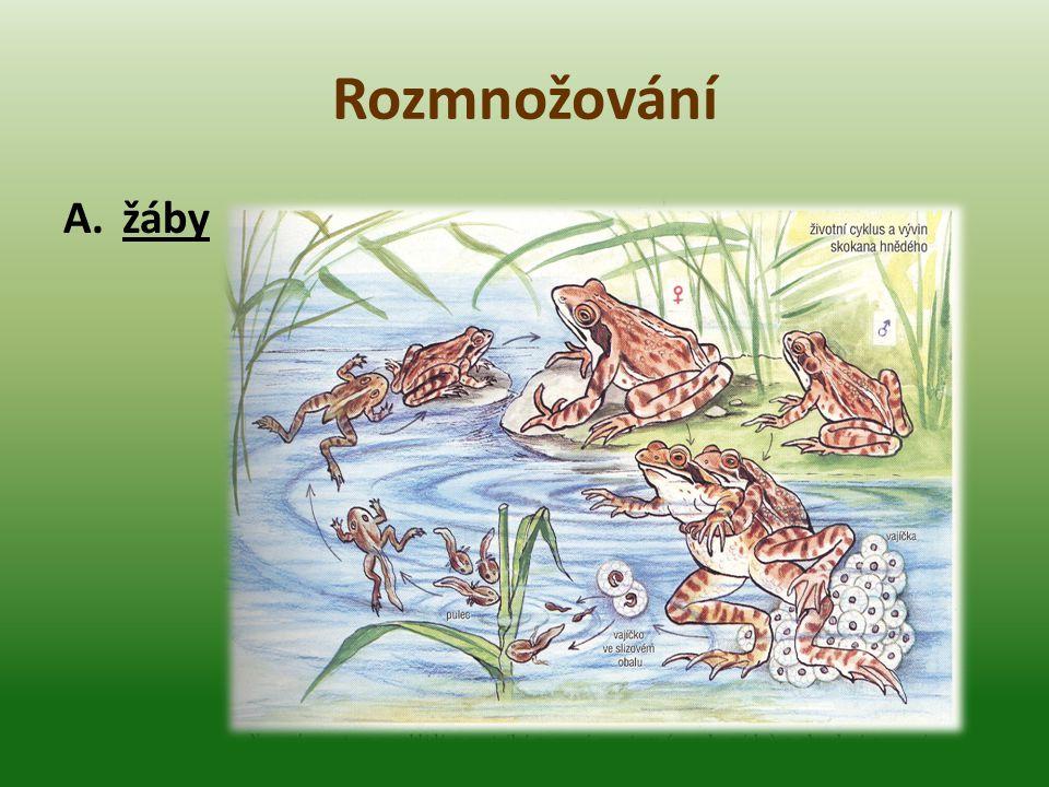 Rozmnožování A.žáby