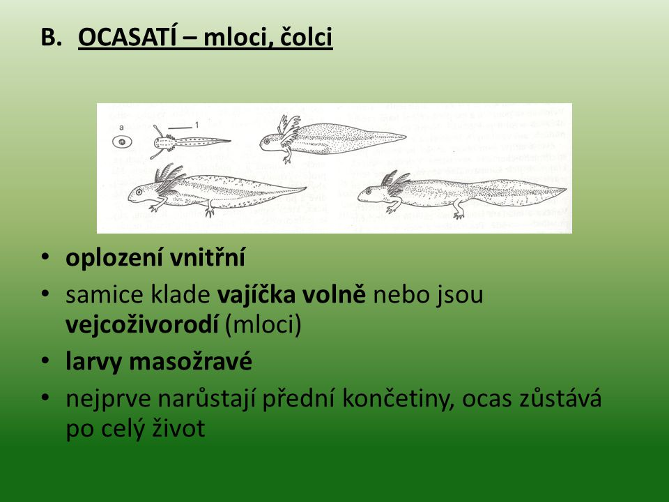 B.OCASATÍ – mloci, čolci oplození vnitřní samice klade vajíčka volně nebo jsou vejcoživorodí (mloci) larvy masožravé nejprve narůstají přední končetiny, ocas zůstává po celý život