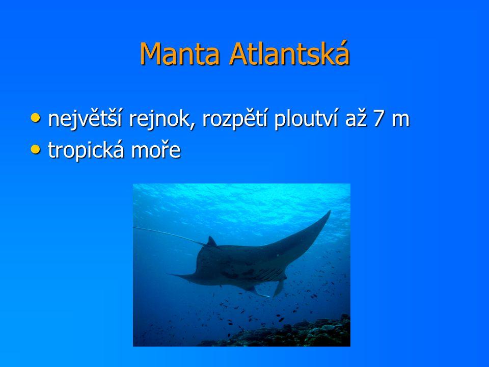Manta Atlantská největší rejnok, rozpětí ploutví až 7 m největší rejnok, rozpětí ploutví až 7 m tropická moře tropická moře