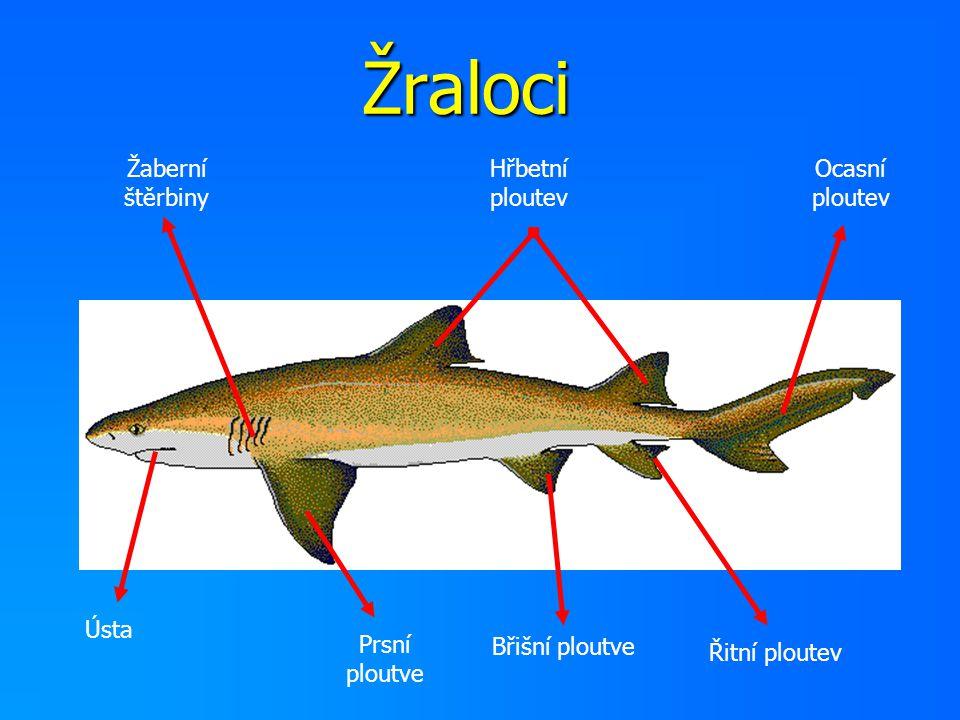 Žraloci Žaberní štěrbiny Hřbetní ploutev Ocasní ploutev Ústa Prsní ploutve Břišní ploutve Řitní ploutev