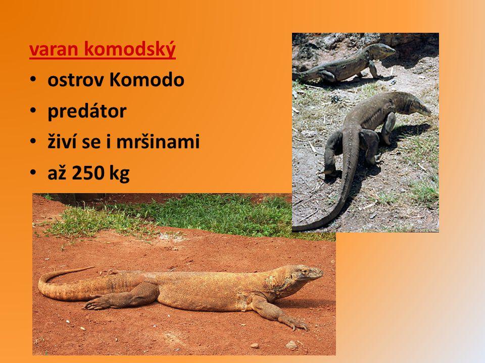 varan komodský ostrov Komodo predátor živí se i mršinami až 250 kg