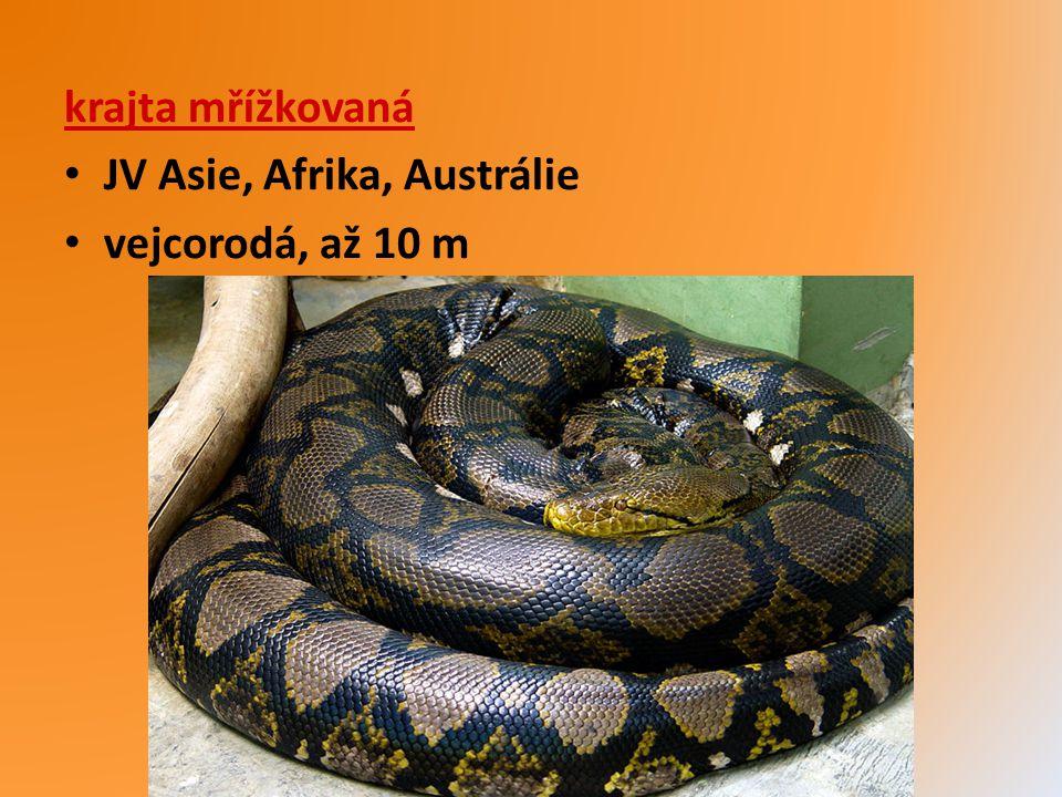 krajta mřížkovaná JV Asie, Afrika, Austrálie vejcorodá, až 10 m