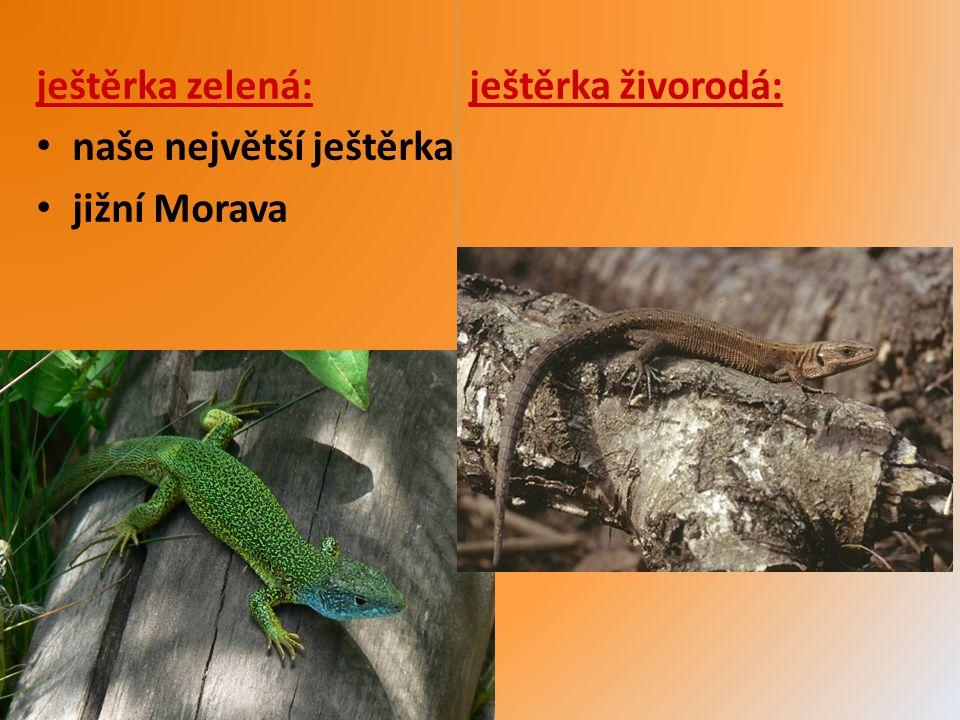 slepýš křehký hadovitě protáhlé tělo bez končetin vejcoživorodý aktivní v noci loví hmyz, pavouky, žížaly, slimáky
