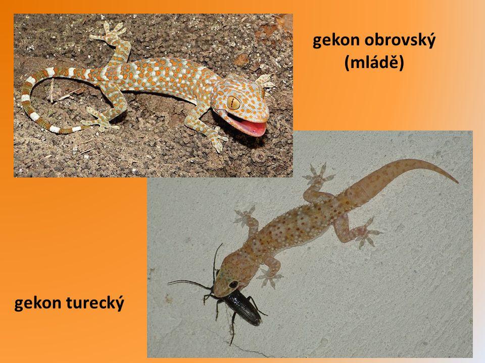 zmije levantská Turecko