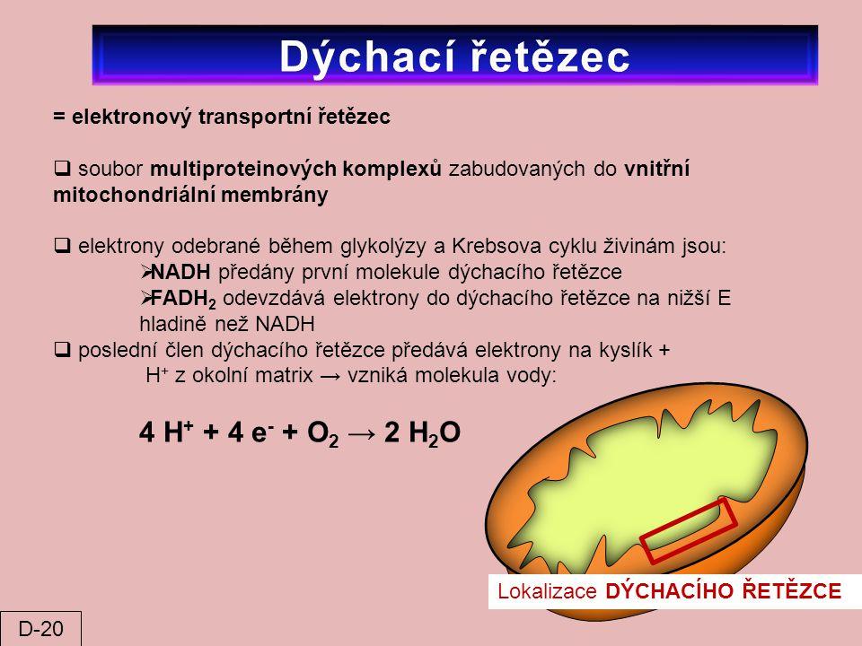 = elektronový transportní řetězec  soubor multiproteinových komplexů zabudovaných do vnitřní mitochondriální membrány  elektrony odebrané během glyk