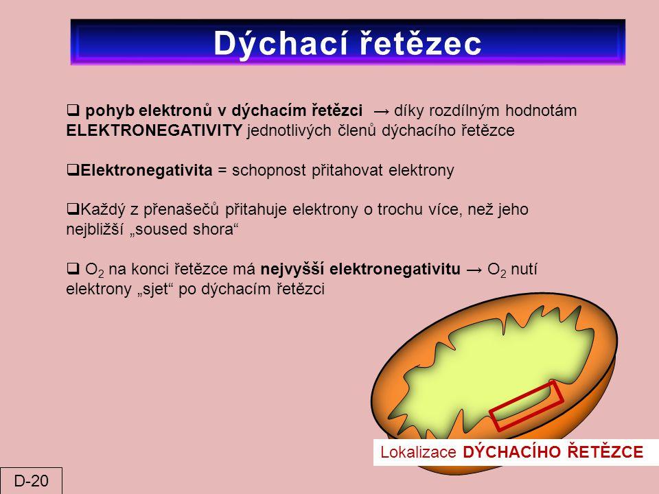 Lokalizace DÝCHACÍHO ŘETĚZCE  pohyb elektronů v dýchacím řetězci → díky rozdílným hodnotám ELEKTRONEGATIVITY jednotlivých členů dýchacího řetězce  E