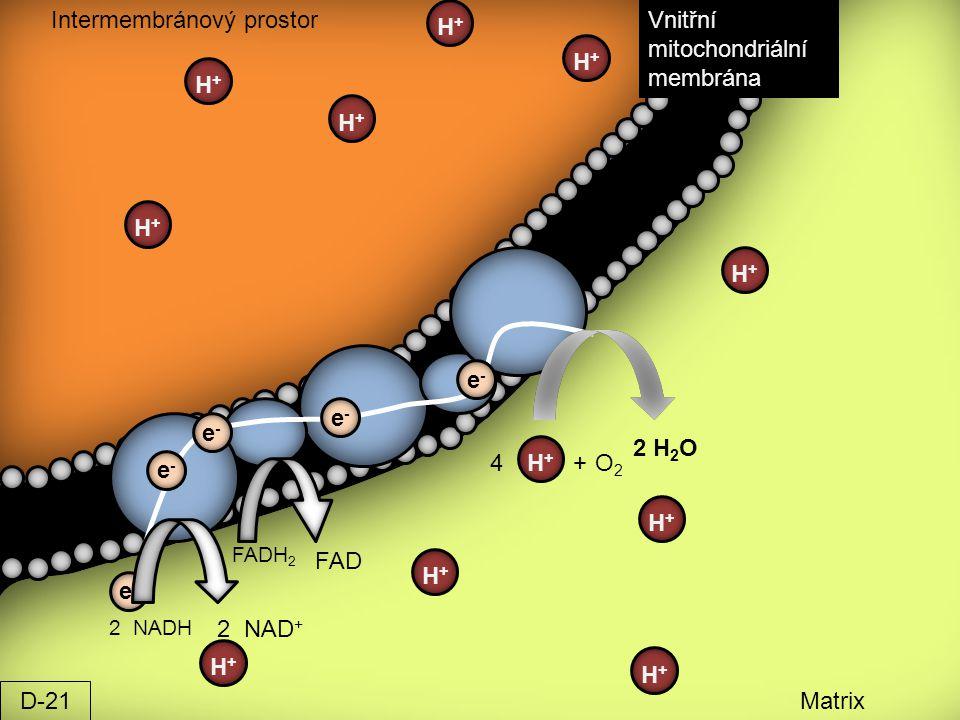 Intermembránový prostor Matrix Vnitřní mitochondriální membrána 2 NAD + FAD O2O2 2 H 2 O 4 2 NADH FADH 2 H+H+ + e-e- e-e- e-e- e-e- e-e- H+H+ H+H+ H+H