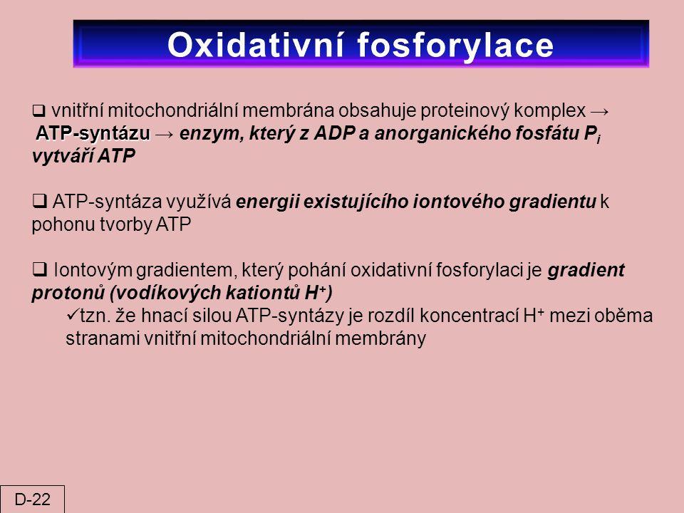  vnitřní mitochondriální membrána obsahuje proteinový komplex → ATP-syntázu ATP-syntázu → enzym, který z ADP a anorganického fosfátu P i vytváří ATP