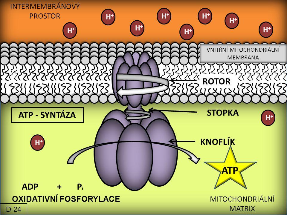 INTERMEMBRÁNOVÝ PROSTOR VNITŘNÍ MITOCHONDRIÁLNÍ MEMBRÁNA MITOCHONDRIÁLNÍ MATRIX H+H+ H+H+ H+H+ ADP+PiPi ATP ATP - SYNTÁZA ROTOR STOPKA KNOFLÍK OXIDATI