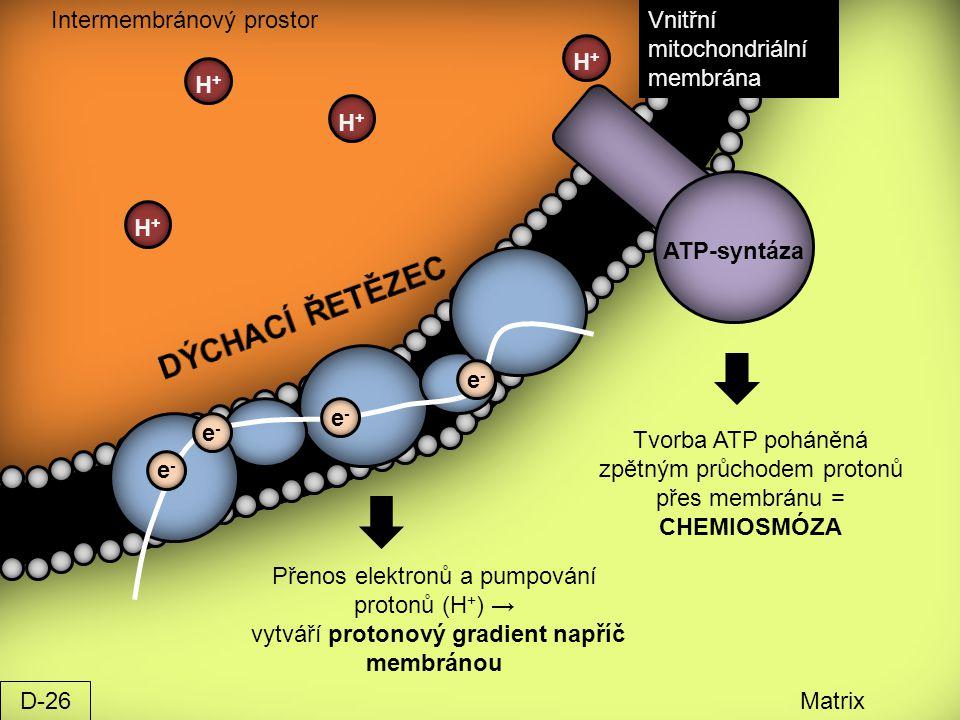 Intermembránový prostor Matrix Vnitřní mitochondriální membrána e-e- e-e- e-e- e-e- H+H+ H+H+ H+H+ H+H+ ATP-syntáza Přenos elektronů a pumpování proto