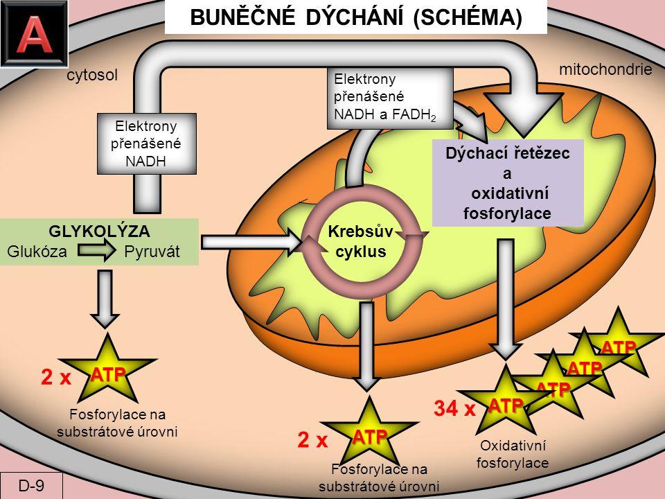 cytosol mitochondrie GLYKOLÝZA Glukóza Pyruvát Krebsův cyklus Dýchací řetězec a oxidativní fosforylace Elektrony přenášené NADH a FADH 2 Elektrony pře